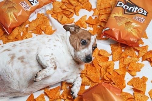 Dogilike.com :: อดใจไม่ไหว! เจ้าของแพ้สายตาอ้อนขอขนม ทำตูบน้ำหนักเกิน