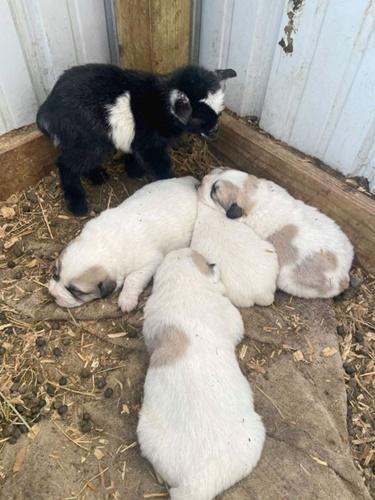 Dogilike.com :: แม่นมจำเป็น! ตูบรับเลี้ยงลูกแพะ หลังแม่แท้ๆ ไม่ยอมให้กินนม