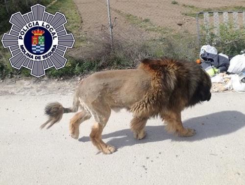 Dogilike.com :: สเปนผวา! พบสัตว์คล้ายสิงโตเดินไปทั่วเมือง สุดท้ายเป็นแบบนี้