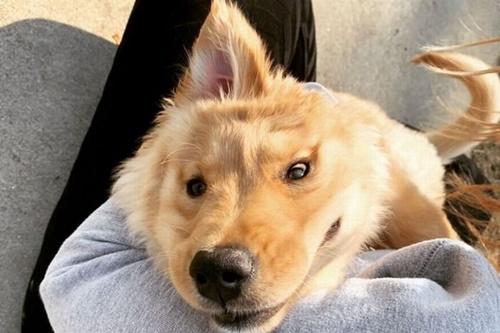 Dogilike.com :: เจ้า Rae โกลเด้นฯสุดน่ารักที่มีฉายาว่า น้องหมายูนิคอร์น