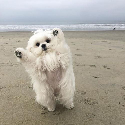 Dogilike.com :: เจ้า Coco น้องหมามอลทีสสุดน่ารักที่ขโมยหัวใจผู้คนไปทั่วโลก!