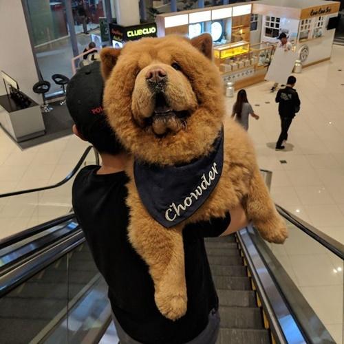 Dogilike.com :: เจ้า Chowder น้องหมาตุ๊กตาหมี ใครเห็นเป็นต้องอยากกอด!