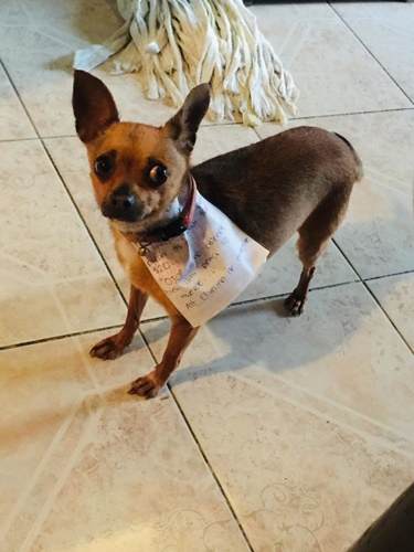 Dogilike.com :: หนุ่มส่งชิวาวาออกไปซื้อขนมช่วงกักตัวอยู่บ้าน ผลออกมาเป็นแบบนี้!