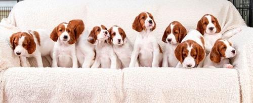 Dogilike.com :: อังกฤษเฮ! น้องหมาพันธุ์เสี่ยงใกล้สูญพันธุ์ คลอดลูกกว่า 10 ตัว