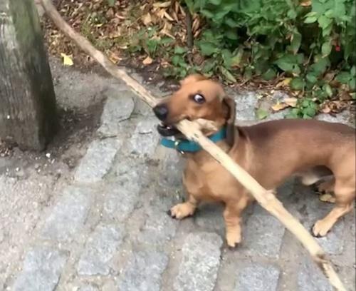 Dogilike.com :: เล็กๆไม่ ใหญ่ๆชอบ! เจ้า Bosco น้องหมาขาสั้นที่เห็นกิ่งไม้เป็นไม่ได้ (คลิป)