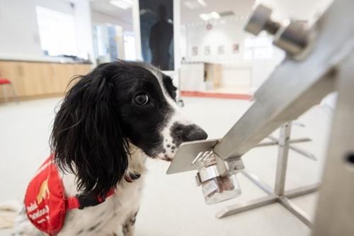 Dogilike.com :: อังกฤษระดมทุน! จ่อฝึกสุนัขดมกลิ่นหาเชื้อโควิด-19 ในมนุษย์