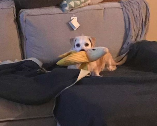 Dogilike.com :: หนูรักของหนู! 5 ปีผ่านไปเจ้าตูบตัวนี้ก็ยังรักตุ๊กตากล้วยหอมไม่เปลี่ยน
