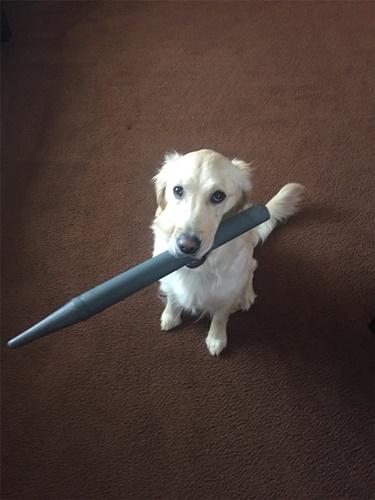 Dogilike.com :: สนใจหนูหน่อย! เจ้า Stella ตูบที่คาบทุกอย่างเมื่อคนไม่สนใจ