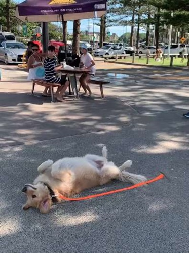 Dogilike.com :: ไวรัลทั่วโลก! เจ้าตูบแกล้งตายอยากเดินเล่นต่อ ไม่ยอมกลับบ้าน(คลิป)