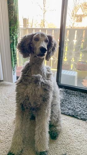 Dogilike.com :: 20 ภาพชวนขำ เมื่อน้องหมาถูกเจ้าของตัดขนให้ในช่วงกักตัว!