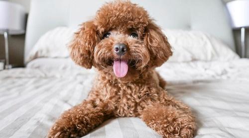 Dogilike.com :: จัดอันดับ 5 สายพันธุ์น้องหมาขนหยิก น่ารักน่ากอด!