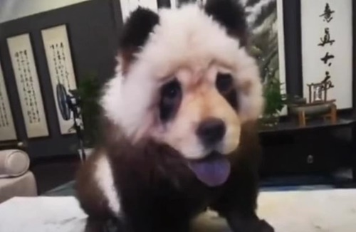 Dogilike.com :: ชาวจีนฮีอฮา! นึกว่าหมีแพนด้ามาเดินบนถนน ที่แท้เป็นแบบนี้