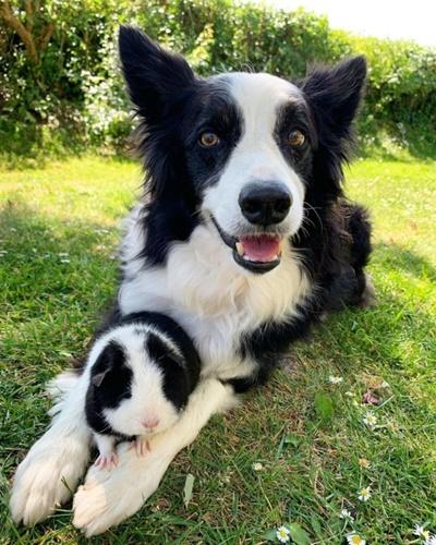 Dogilike.com :: แฝดต่างพันธุ์! หนูตะเภากับตูบมีสีขนเหมือนกันเป๊ะ ชาวเน็ตหลงรักเป็นแถวๆ
