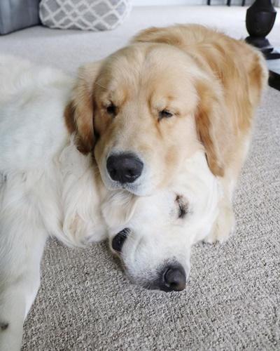Dogilike.com :: ละมุน! 3 โกลเด้นฯชอบสลับกันนอนหนุน น่ารักจนคนติดตามนับแสน