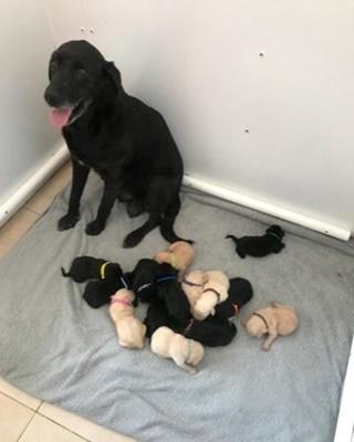 Dogilike.com :: เจ้าของอึ้ง! ลาบราดอร์คลอดลูก 14 ตัว ครอกใหญ่สุดในอังกฤษ