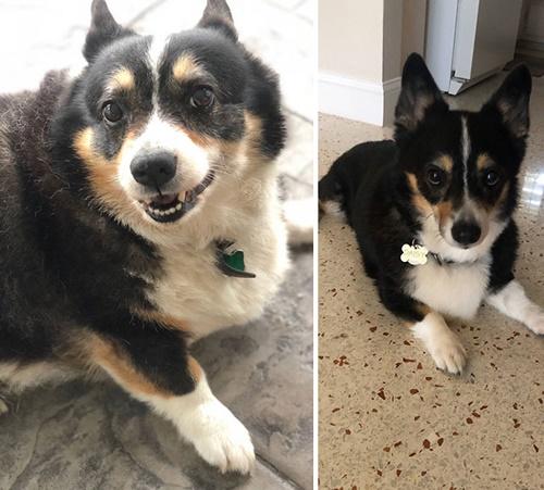 Dogilike.com :: รวมภาพBefore & After เมื่อตูบลดน้ำหนัก น่ารักขึ้นเป็นกอง!