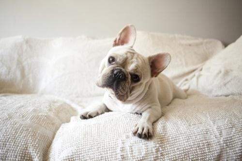 Dogilike.com :: สุดช็อก! พบลูกสุนัขเฟรนช์ บูลด็อก 38 ตัวตายบนเครื่องบินที่แคนาดา