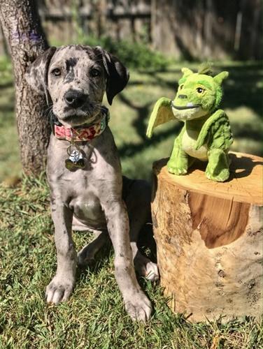 Dogilike.com :: หนูรักของหนู! เกรทเดนติดตุ๊กตาตั้งแต่เด็กจนโต 3 ปีไม่เคยห่างกัน