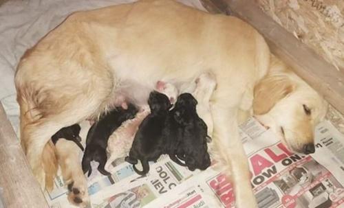 Dogilike.com :: คู่รักช่วยชีวิตลาบราดอร์ก่อนถูกการุณยฆาต เซอร์ไพรส์คลอดลูก 12 ตัว