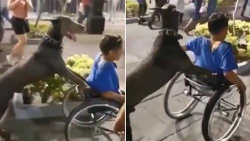 Dogilike.com :: ไวรัลดัง! ตูบแสนรู้เข็นวีลแชร์ให้เด็กชายขาพิการ(คลิป)