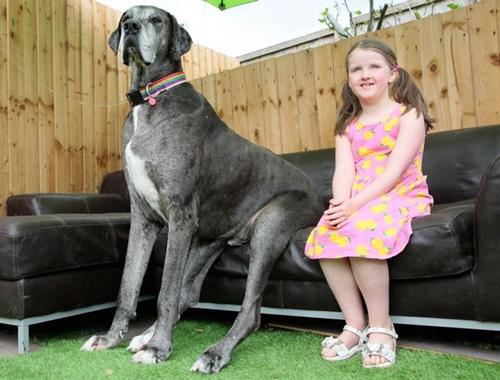 Dogilike.com :: สถิติใหม่! เจ้า Freddy น้องหมาเกรทเดนที่สูงที่สุดในโลก