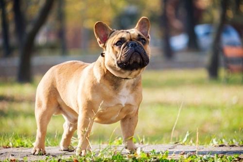 Dogilike.com :: จัดอันดับ 5 สายพันธุ์น้องหมาเงียบสงบ ไม่ส่งเสียงเห่ารบกวน!