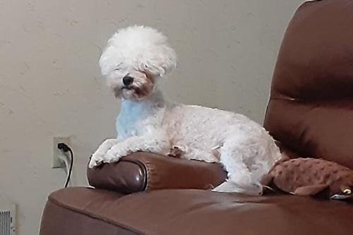 Dogilike.com :: ขำไม่ไหว! เจ้าของพาตูบไปตัดขน กลับออกมาเป็น อัลปาก้า เฉย