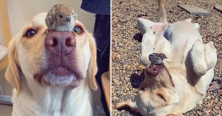 Dogilike.com :: คิ้วท์สุดๆ! เจ้า Ruby ลาบราดอร์ใจดีรับเลี้ยงลูกนกกระทาพลัดหลง