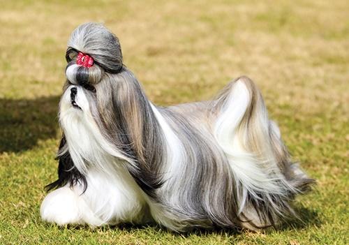 Dogilike.com :: จัดอันดับ 5 สายพันธุ์น้องหมาขนยาวสวยที่ทุกคนต้องอิจฉา