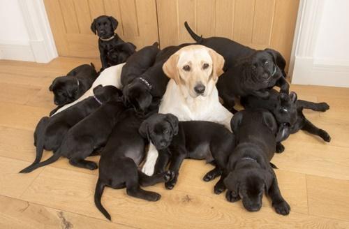 Dogilike.com :: ไม่เหมือนแม่! ฮือฮาลาบราดอร์คลอดลูก 13 ตัวขนสีดำยกครอก