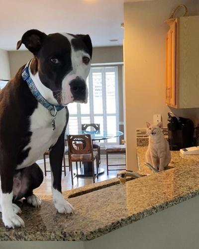 Dogilike.com :: เรื่องราวน่ารักของ เจ้า Mako พิทบูลที่คิดว่าตัวเองเป็นแมว!