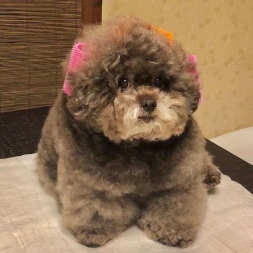 Dogilike.com :: แค่เห็นก็รักแล้ว! ชาวเน็ตแห่แชร์ภาพพุดเดิ้ลตัวกลมจากประเทศญี่ปุ่น