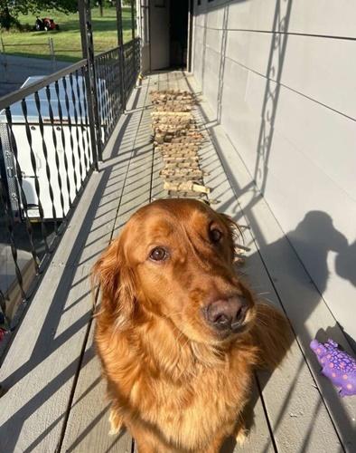 Dogilike.com :: น่ารัก! เจ้า Bruce โกลเด้นฯที่ชอบคาบท่อนไม้มาอวดคุณพ่อ