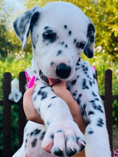 Dogilike.com :: แม่หมาคลอดลูกครอกใหญ่ เรื่องราวคล้ายการ์ตูนดัง 101 Dalmatians!