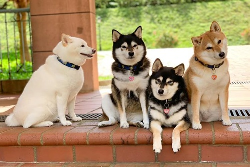 Dogilike.com :: แก๊งเพื่อนต้องมีแบบนี้! เผยภาพชิบะแย่งซีนเก่ง น่ารักละลายใจคนทั่วโลก