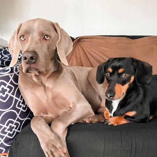 Dogilike.com :: หนูจะช่วยพี่เอง! ดัชชุนใช้หัวใจดูแลพี่หมาขี้กลัวให้แข็งแกร่งอีกครั้ง