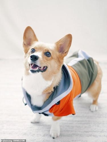 Dogilike.com :: ขาสั้นแล้วไง! เจ้าของฝึกคอร์กี้ชู้ตบาสช่วงกักตัวผลเป็นแบบนี้ (คลิป)