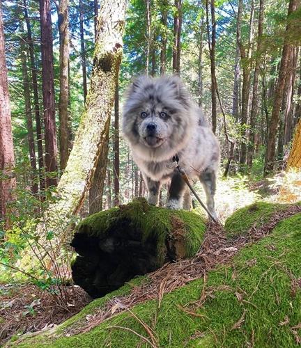 Dogilike.com :: รู้จักเจ้า Chief น้องหมาสีขนแปลกคล้ายขนมยอดฮิต Oreo !