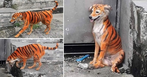 Dogilike.com :: คนรักหมาเดือด! เร่งตามหาตัวคนย้อมสีขนตูบจรจัดเป็นเสือ