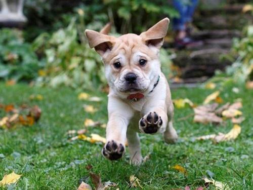 Dogilike.com :: รวม 20 ภาพน่ารัก เมื่อน้องหมาพิทบูลฯ แอบไปปิ๊งกับพันธุ์อื่น!