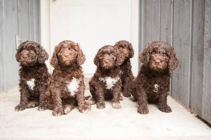 Dogilike.com :: บาร์เบต (Barbet) สุนัขพันธุ์ล่าสุดที่ได้รับการบรรจุใน AKC ปี 2020