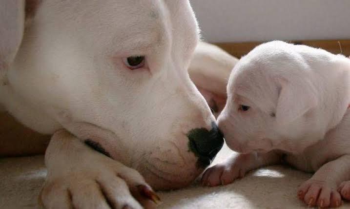 Dogilike.com :: รู้จัก โดโก้ อาร์เจนติโน่ สุนัขพันธุ์ใหม่ใน AKC ปี 2020