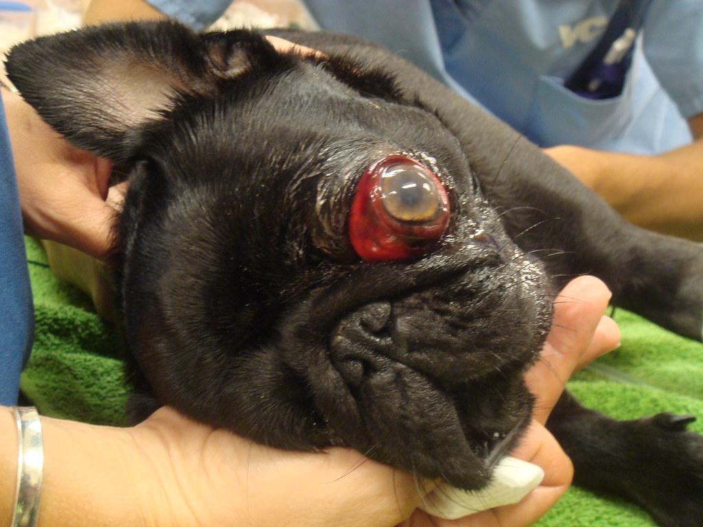 Dogilike.com :: 5 ปัญหาสุขภาพตาที่พบบ่อยในน้องหมาพันธุ์หน้าสั้น
