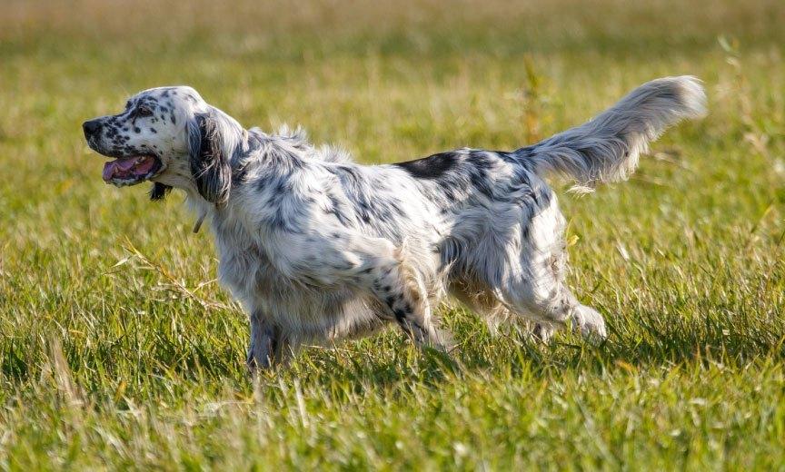 Dogilike.com :: 9 สุนัขพันธุ์แรกที่ได้รับการขึ้นทะเบียนใน AKC ตอนที่ 2