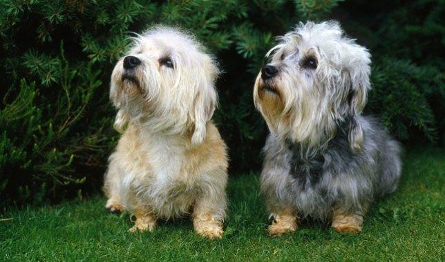 Dogilike.com :: Dandie Dinmont Terrier йь╧я╒╬я╧╦ьЛкрбр║╗р║Ю║рпмя╖║ди