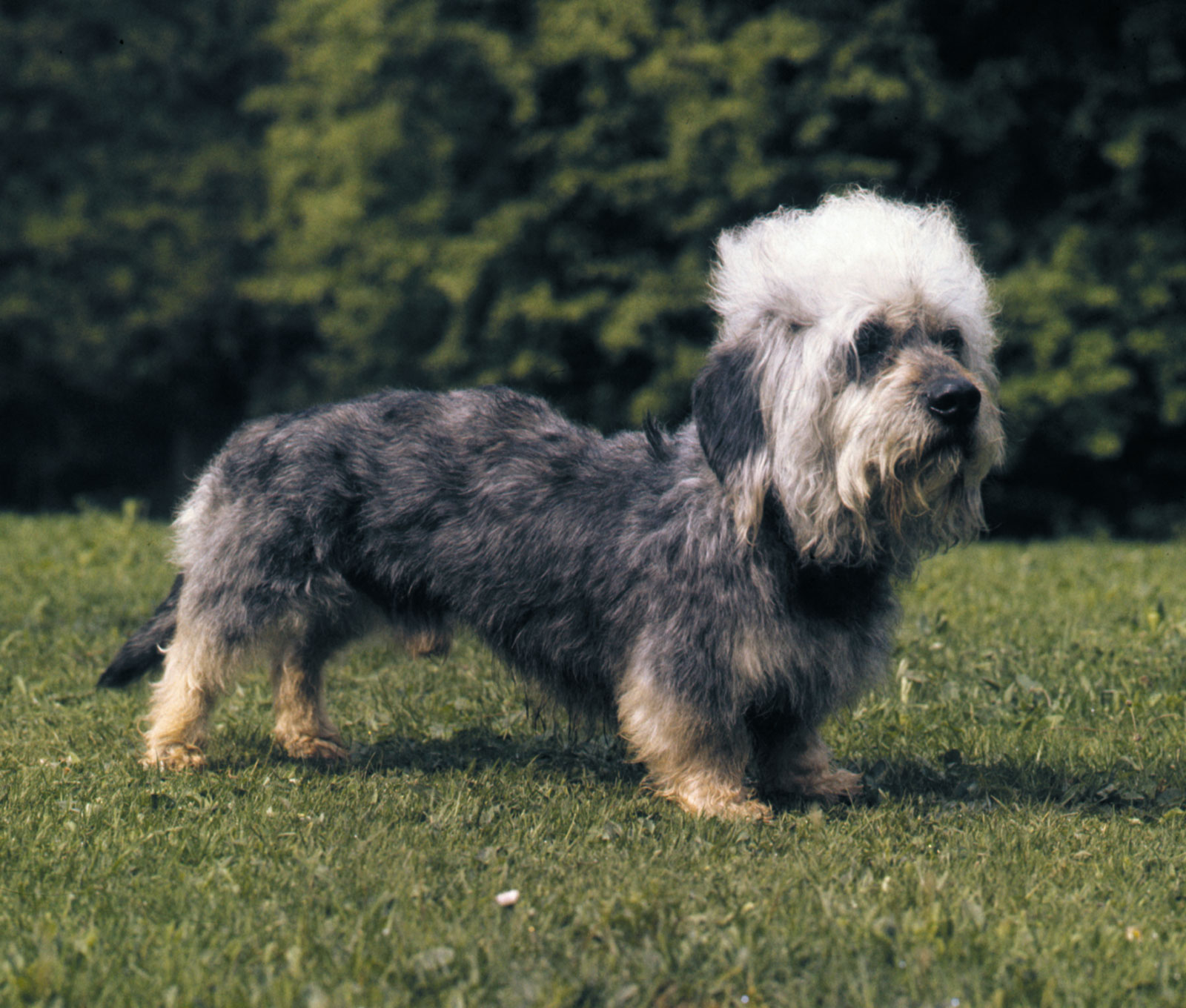 Dogilike.com :: Dandie Dinmont Terrier สุนัขพันธุ์หายากจากเกาะอังกฤษ