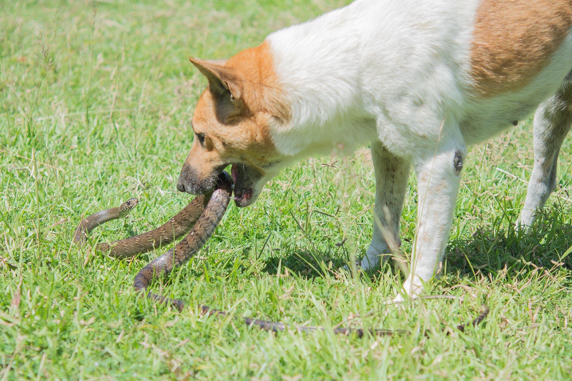 Dogilike.com :: ทำไมสุนัขที่ถูกงูพิษกัดถึงตายง่ายกว่าแมว ?