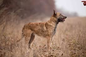 Dogilike.com :: Belgian Laekenois สุนัขพันธุ์หายากที่มีไม่ถึงพันตัวทั่วโลก