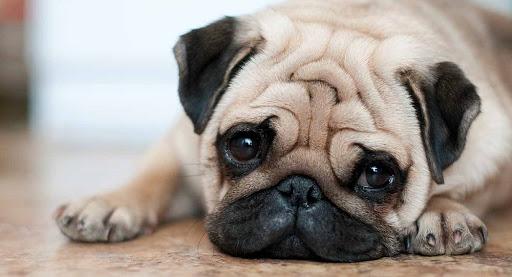 Dogilike.com :: ทำไมสุนัขพันธุ์หน้าสั้นยังคงเป็นที่นิยมเลี้ยงแม้จะมีปัญหาสุขภาพ