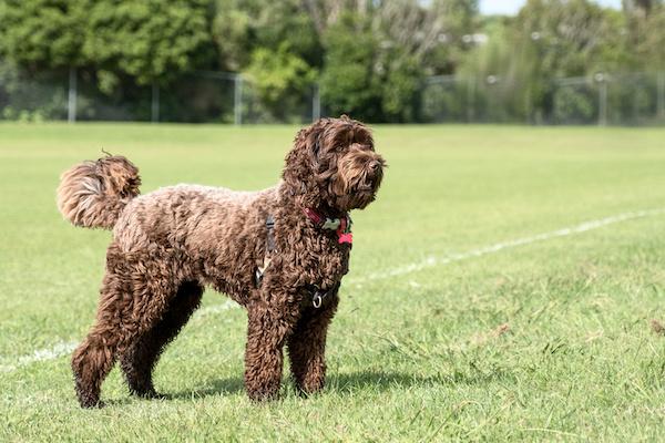 Dogilike.com :: งานวิจัยใหม่พบว่าสุนัขพันธุ์ลาบราดูเดิ้ลมีพันธุกรรมเป็นพุดเดิ้ลมากกว่า